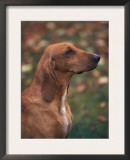 Smooth / Short-Haired Segugio Italiano Hound Profile Portrait Prints by Adriano Bacchella