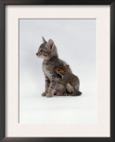 Domestic Cat, Interacting with Baby Grey Squirrel Posters by Jane Burton