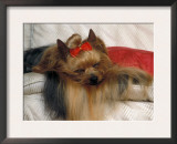 Yorkshire Terrier Sleeping on Cushion Prints by Adriano Bacchella