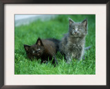 Two Maine Coon Kittens Posters by Petra Wegner