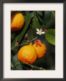 Orange Fruits and Blossom (Citrus Aurantium Sinensis) Poster by  Reinhard