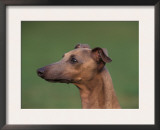 Fawn Whippet Profile Prints by Adriano Bacchella
