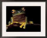 Red Eyed Treefrog, Queensland, Australia Prints by Jurgen Freund