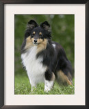 Sheltie Dog Outdoors Posters by Petra Wegner