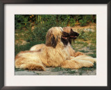 Domestic Dogs, Two Afghan Hounds Lying Side by Side Prints by Adriano Bacchella