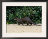 Giant Otter, Guyana Prints by Peter Oxford
