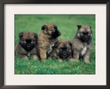 Domestic Dogs, Belgian Malinois / Shepherd Dog Puppies Sitting / Lying Together Prints by Adriano Bacchella