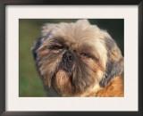 Shih Tzu Puppy Portrait Posters by Adriano Bacchella