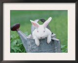 New Zealand Rabbit in Watering Can, USA Poster by Lynn M. Stone