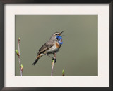 Bluethroat, Male Singing, Switzerland Prints by Rolf Nussbaumer