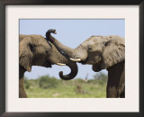 African Elephant, Bulls Sparring with Trunks, Etosha National Park, Namibia Posters by Tony Heald