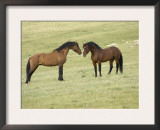 Mustang / Wild Horse, Two Stallions Approaching Each Other, Montana, USA Pryor Posters by Carol Walker