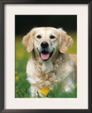 Golden Retriever Dog Prints by Petra Wegner