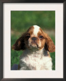 King Charles Cavalier Spaniel Puppy Portrait Posters by Adriano Bacchella