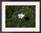 Close View of a Small White Flower Print by Pablo Sandor