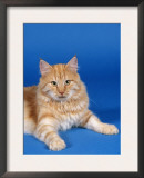 Ginger Norwegian Forest Cat Poster by Petra Wegner