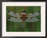 Four-Spotted Libellula Dragonfly, Kalmthoutse Heide, Belgium Prints by Bernard Castelein