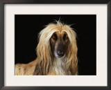 Afghan Hound Dog Art by  Steimer