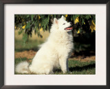 Japanese Spitz Sitting and Looking Up Posters by Adriano Bacchella