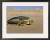Green Turtle Returns to Sea after Laying Eggs, Ras Al Junayz, Oman Posters by Jurgen Freund