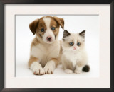 Blue-Eyed Red Merle Border Collie Puppy with Birman-Cross Kitten, Blue Eyes Prints by Jane Burton