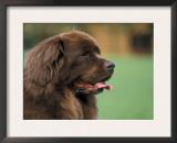 Brown Newfoundland Dog Portrait Print by Adriano Bacchella