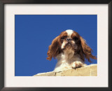 King Charles Cavalier Spaniel Adult Portrait on Wall Posters by Adriano Bacchella