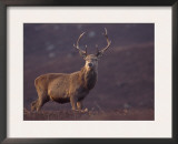 Red Deer Stag on Hillside, Inverness-Shire, Scotland Poster by Niall Benvie