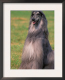 Grey Afghan Hound Sitting Art by Adriano Bacchella