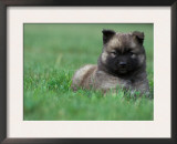 Belgian Malinois / Shepherd Dog Puppy Lying in Grass Posters by Adriano Bacchella