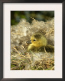 Day-Old Canada Gosling Chick in Nest, Wiltshire, UK Art by T.j. Rich