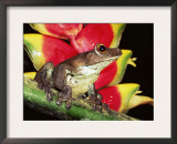 Tree Frog (Hyla Sp) Ecuadorian Amazon, South America Posters by Pete Oxford