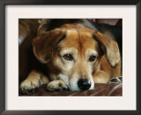 Mixed Breed Dog Sitting on Sofa Prints by Petra Wegner