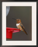 Rufous Hummingbird, Male at Feeder, Paradise, Chiricahua Mountains, Arizona, USA Posters by Rolf Nussbaumer