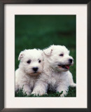 Domestic Dogs, Two West Highland Terrier / Westie Puppies Sitting Together Posters by Adriano Bacchella