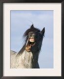 Blue Roan Wild Stallion Yawning, Pryor Mountains, Montana, USA Posters by Carol Walker