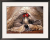 Shih Tzu Lying Down with Hair Tied Up Poster by Adriano Bacchella
