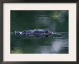 American Alligator Submerged, Sanibel Is, Florida, USA Prints by Rolf Nussbaumer