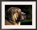 Spanish Mastiff Portrait Posters by Adriano Bacchella