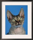 Head of Devon Rex Cat Prints by Petra Wegner
