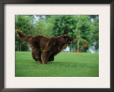 Brown Newfoundland Dog Running Prints by Adriano Bacchella
