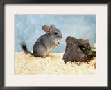 Long-Tailed Chinchilla at Play Poster by  Steimer