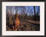 Tyrolean Bloodhound Sitting in Dry Leaves in Woodland Prints by Adriano Bacchella
