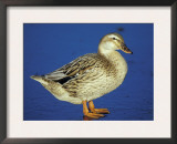 Mallard Duck Stanging on Ice, UK Prints by Colin Varndell