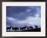 Red Deer Herd Silhouette at Dusk, Strathspey, Scotland, UK Posters by Pete Cairns