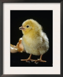 Light Sussex Hen Chick Print by Jane Burton