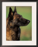 Belgian Malinois / Shepherd Dog Profile Portrait Prints by Adriano Bacchella