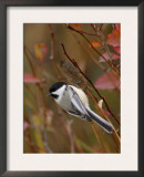 Black Capped Chickadee, Eating Flower Seeds, Grand Teton National Park, Wyoming, USA Art by Rolf Nussbaumer