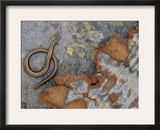 Female Slow Worm Near Rusting Iron, Scotland Print by Niall Benvie