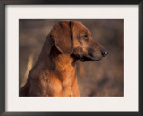 Tyrolean Bloodhound Portrait Print by Adriano Bacchella